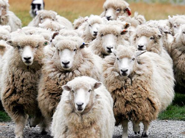 l-sheep